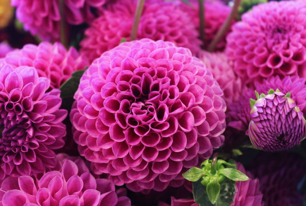 Ideas for You to Choose the Magenta dahlia wedding bouquets