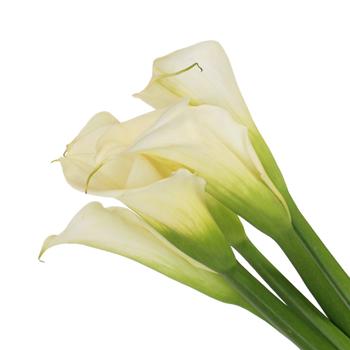 WHITE STANDARD CALLA LILY FLOWER