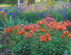 Alstroemeria Inca Peruvian Lily;alstormeria;inca flower;peruvian lily;