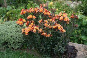 Alstromeria ( Peruvian Lily ) garden plant