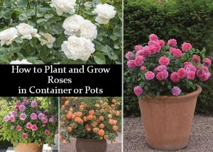 How to Plant and Grow Roses in Container or Pots