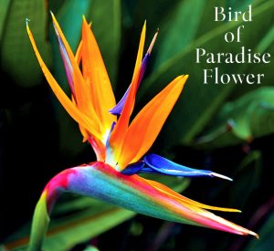 Featured Wedding Flowers: Bird of Paradise Flower