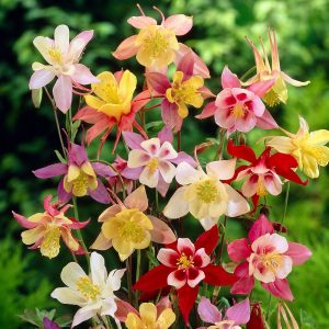 Columbine Flower Colors