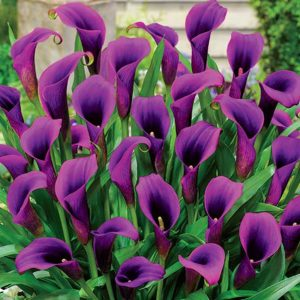 purple calla lilies - calla lilies colors