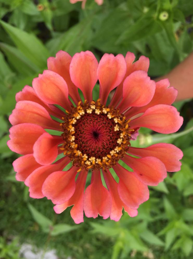 Osteospermum Coral Flower